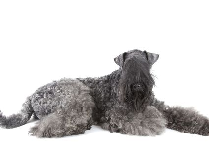 Adult Kerry Blue Terrier on white background