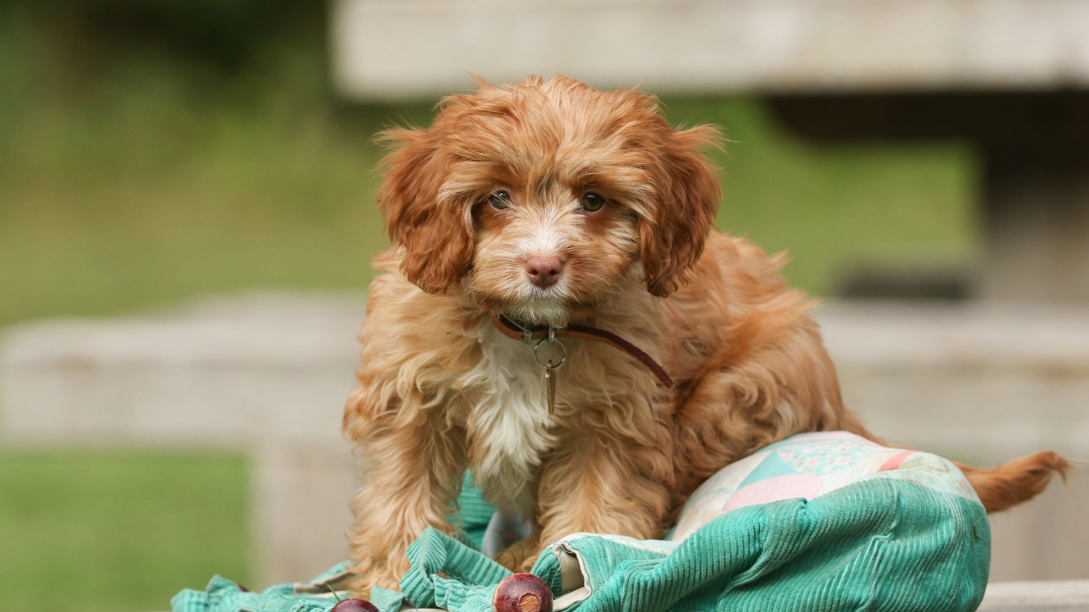 Cavapoo Full Profile History And Care