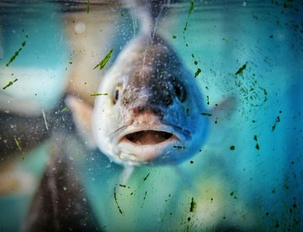 Close-Up Of Fish In Dirty Tank