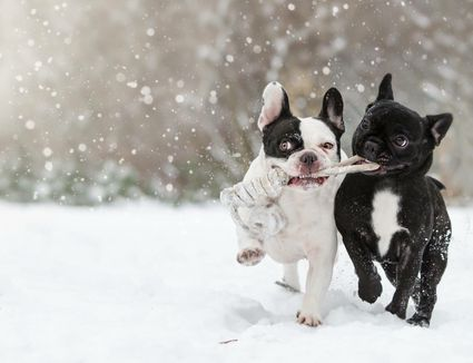 Two Dogs Playing In The Snow