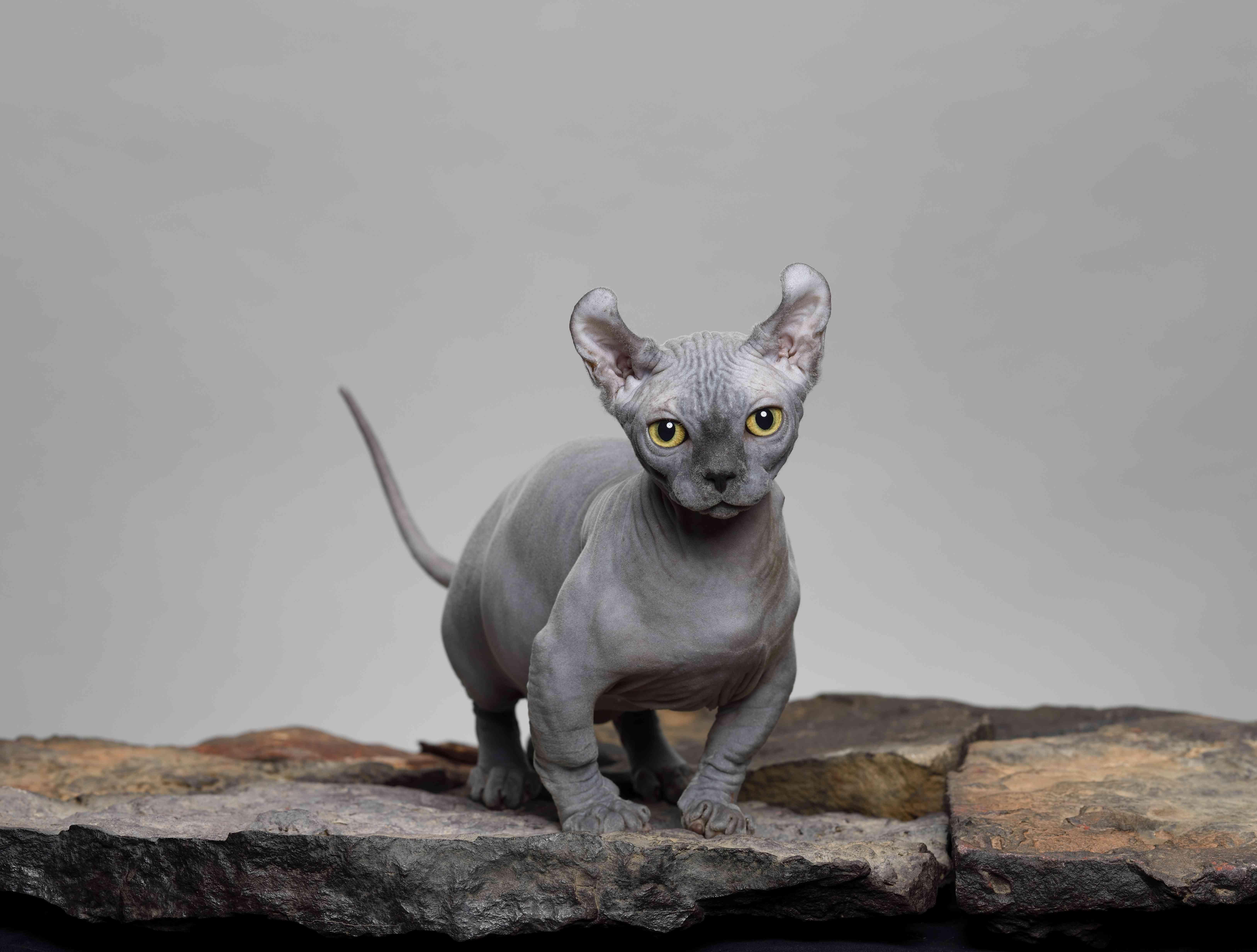 Dwelf Cat in the Studio