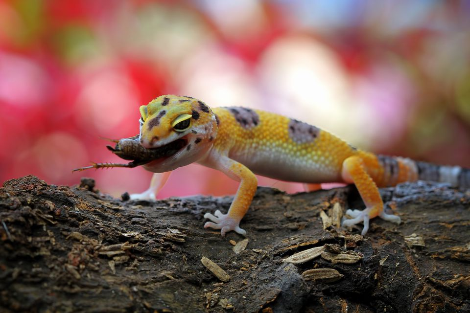 leopard gecko eating insect