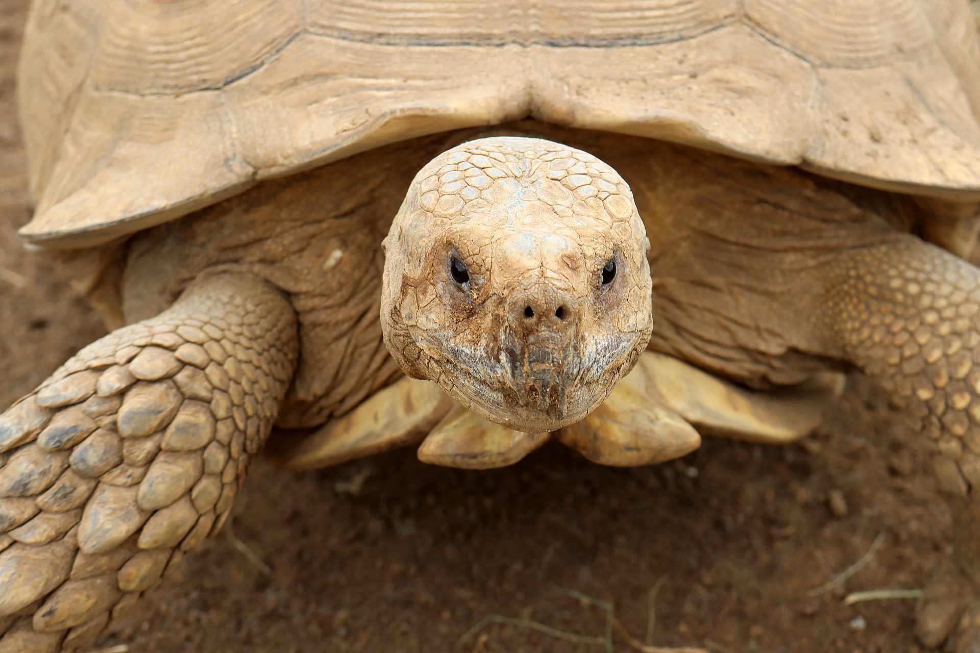 Sulcata tortoise head closeup