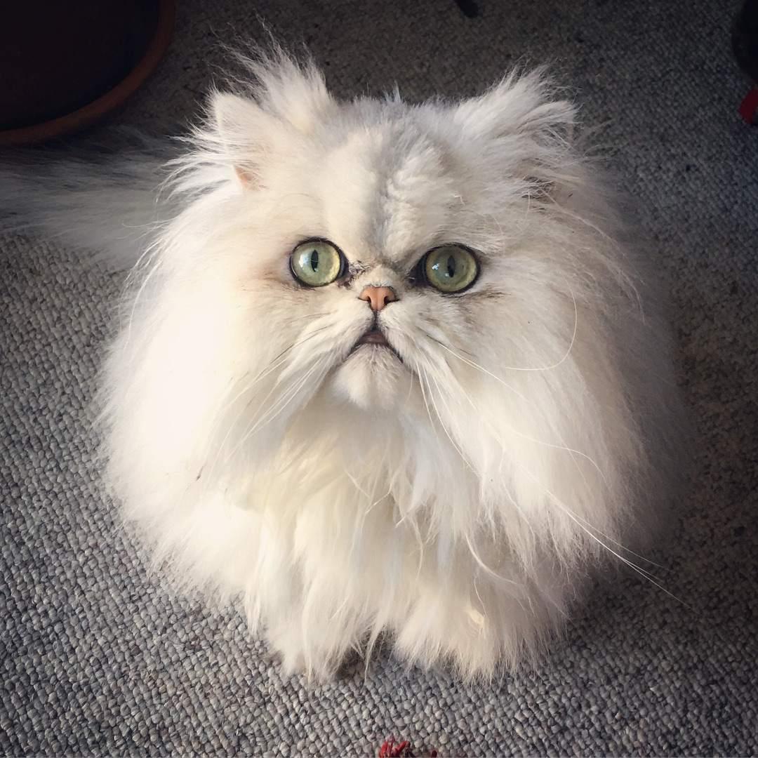 Un gato persa blanco con ojos verdes