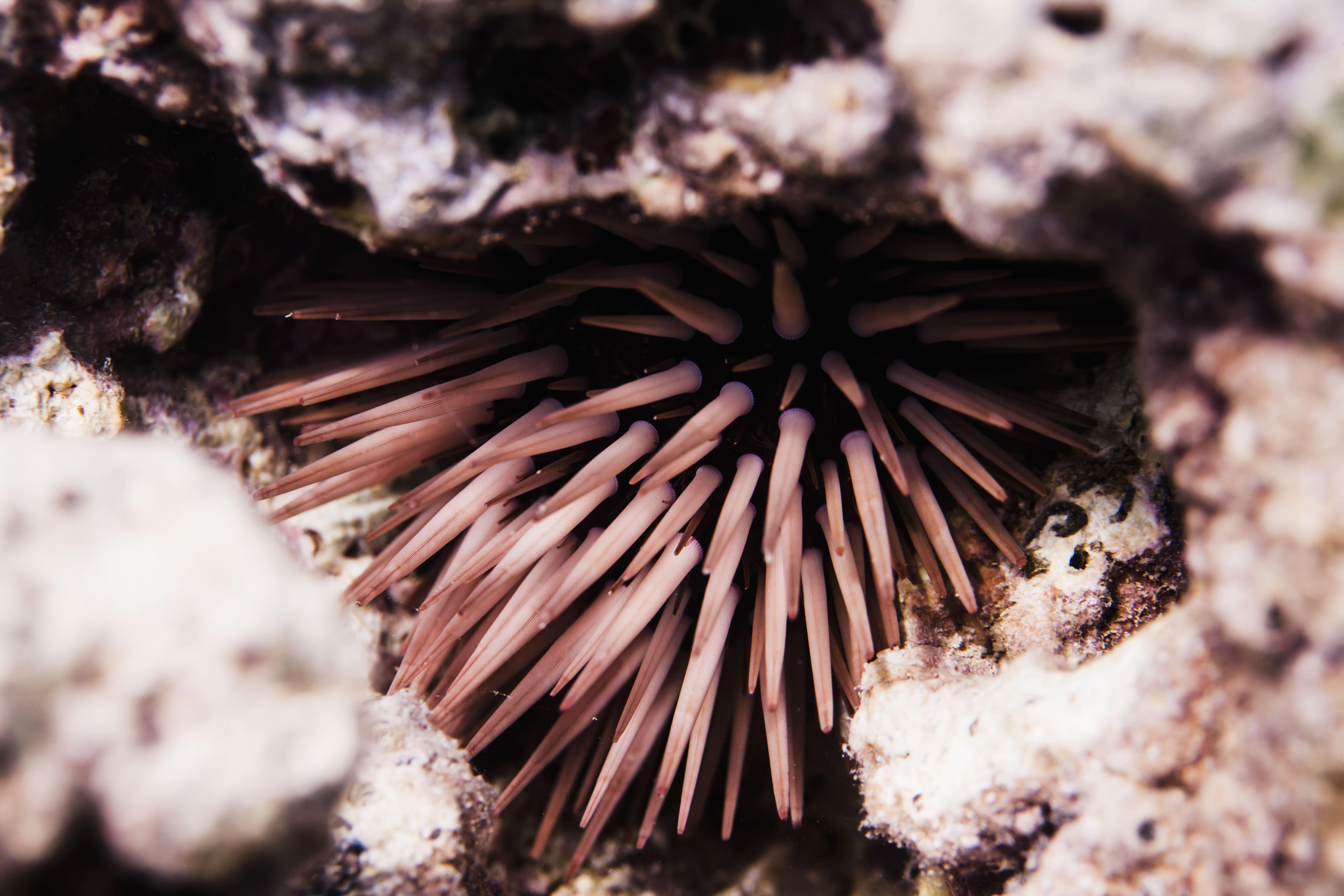Erizo de mar pálido y aburrido (Echinometra mathaei)