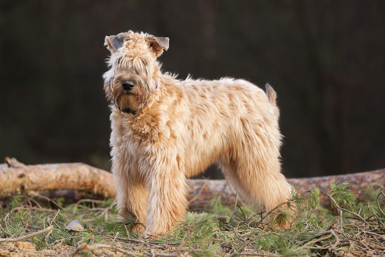 Soft Coated Wheaten Terrier Full