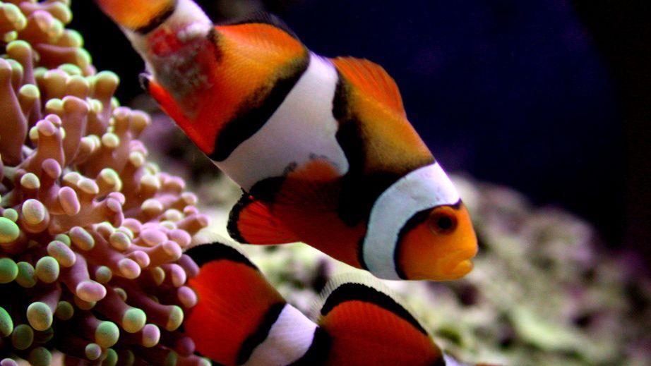 The Lymphocystis Virus in Saltwater Aquarium Fish