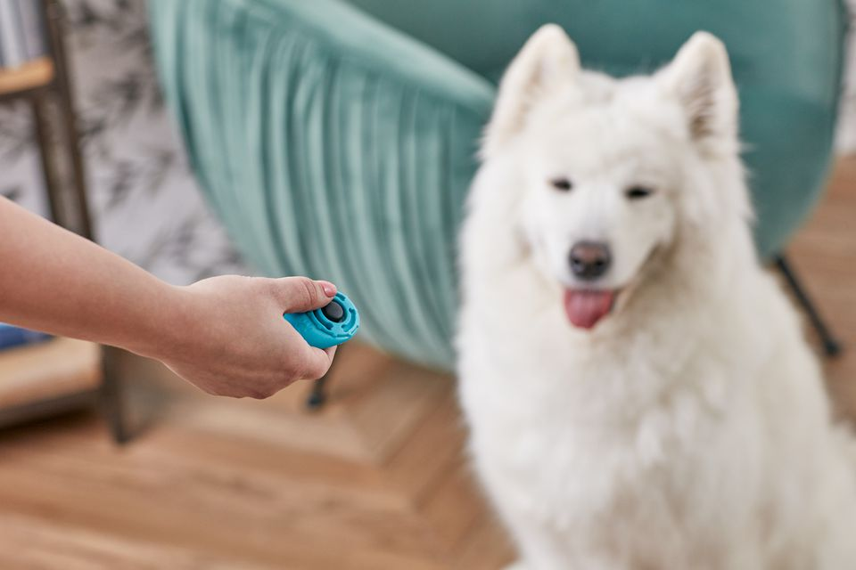 using clicker training on a Samoyed