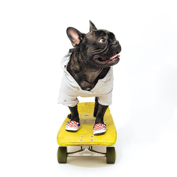A dark brindle Frenchie wearing a white shirt and vans shoes while standing on a yellow skateboard.