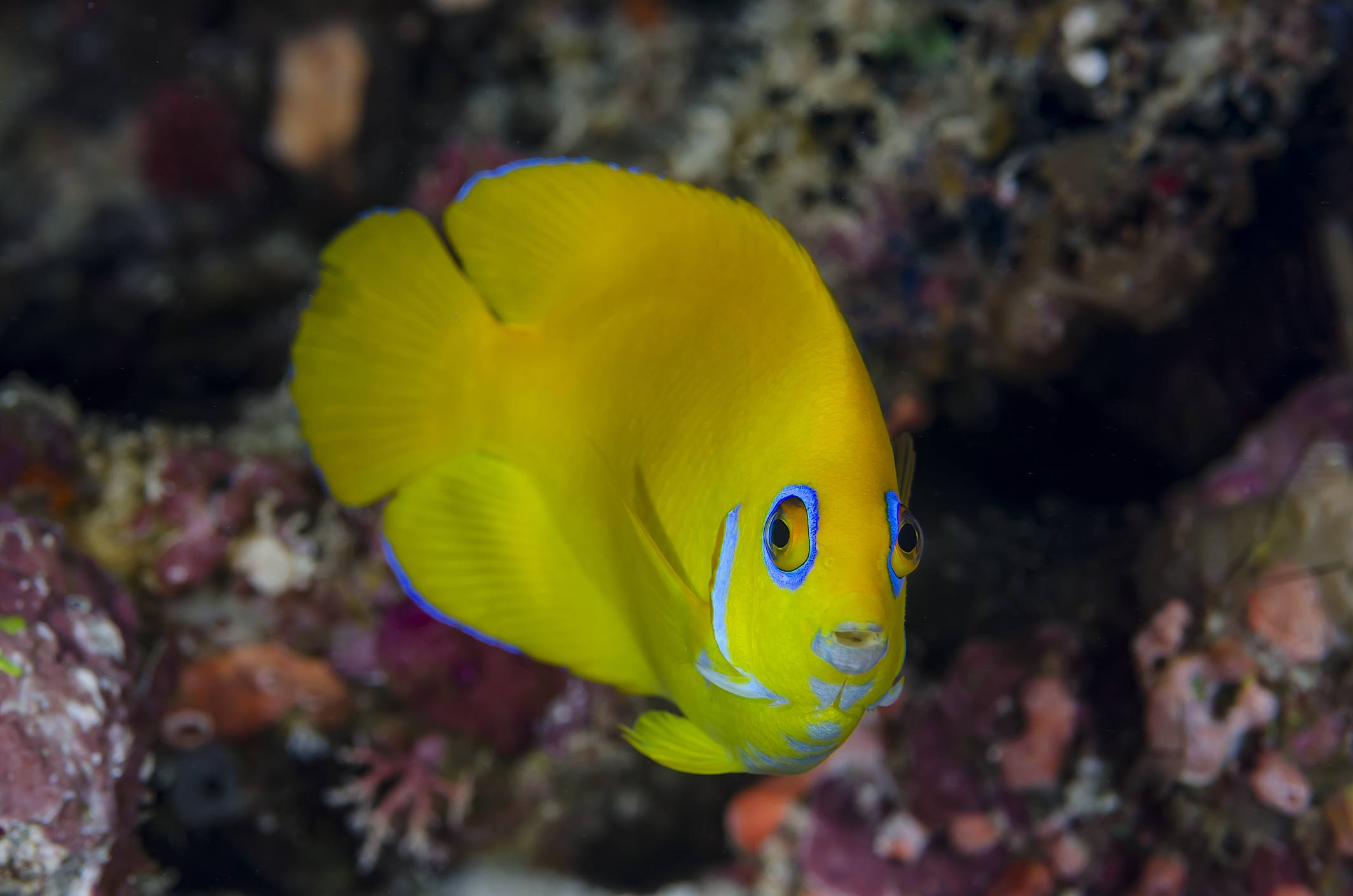 Reef Tank Safe Angelfish