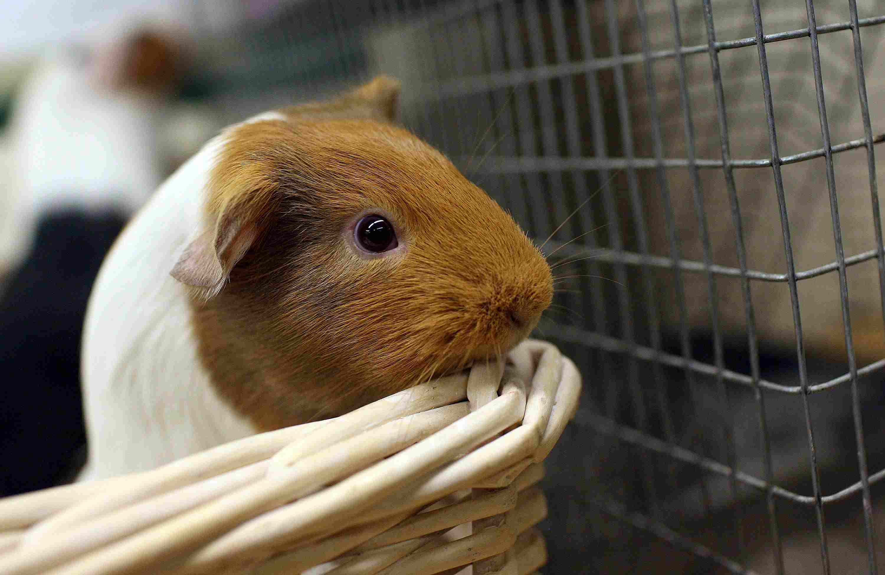 Guinea pig in a basket