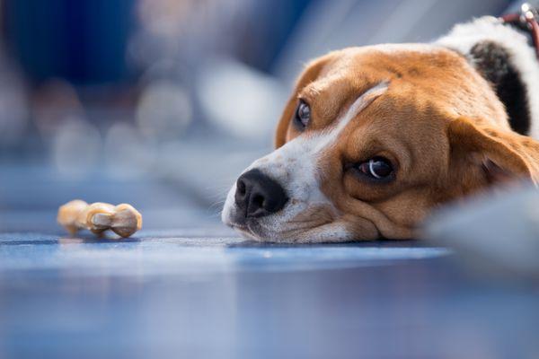 Sad-looking dog ignoring a treat