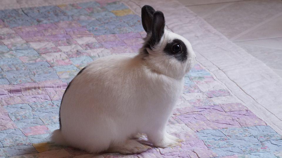 Mini rex rabbit bunny