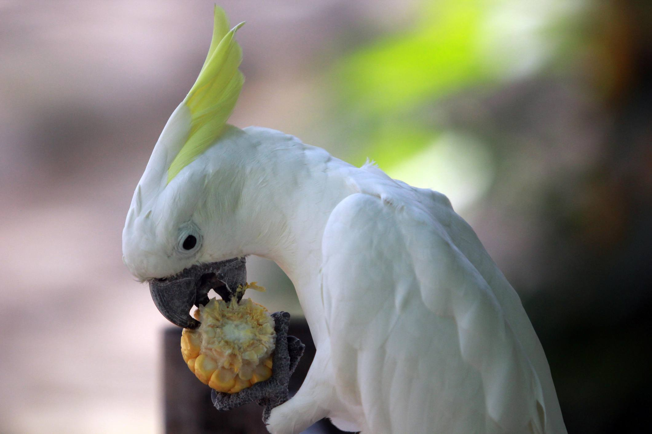 Cockatoo eating corn on a cob