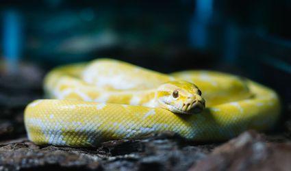 pet snake breeds