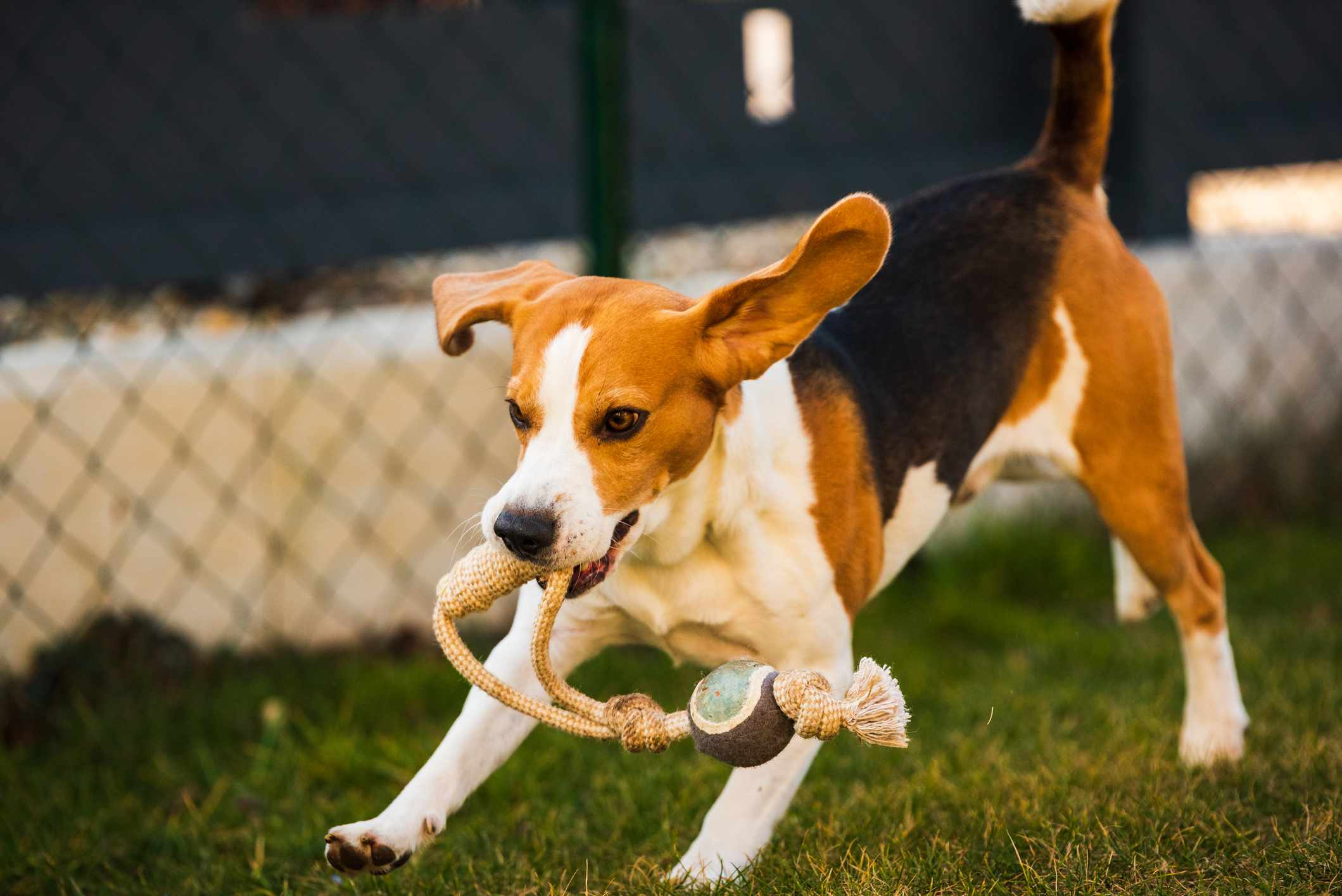 Beagle running with rope toy in mouth, long ears flapping behind.