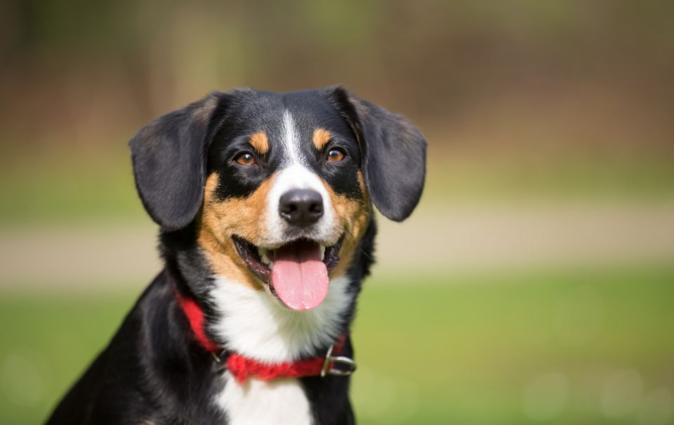 A Entlebucher Mountain Dog outdoors
