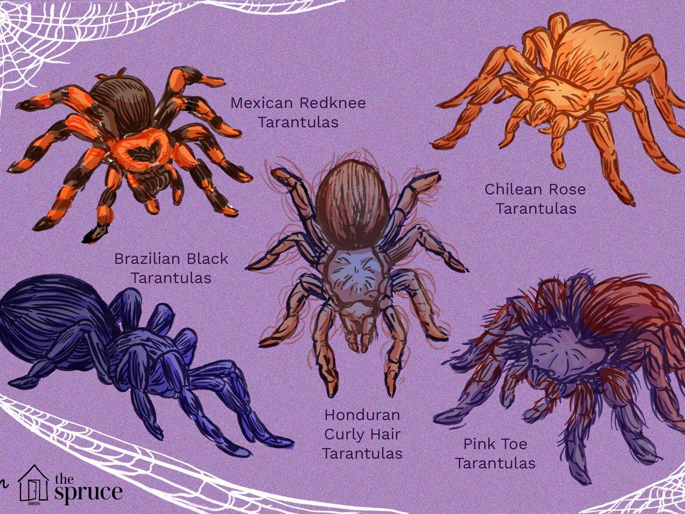 10 Best Tarantula Species To Keep As Pets