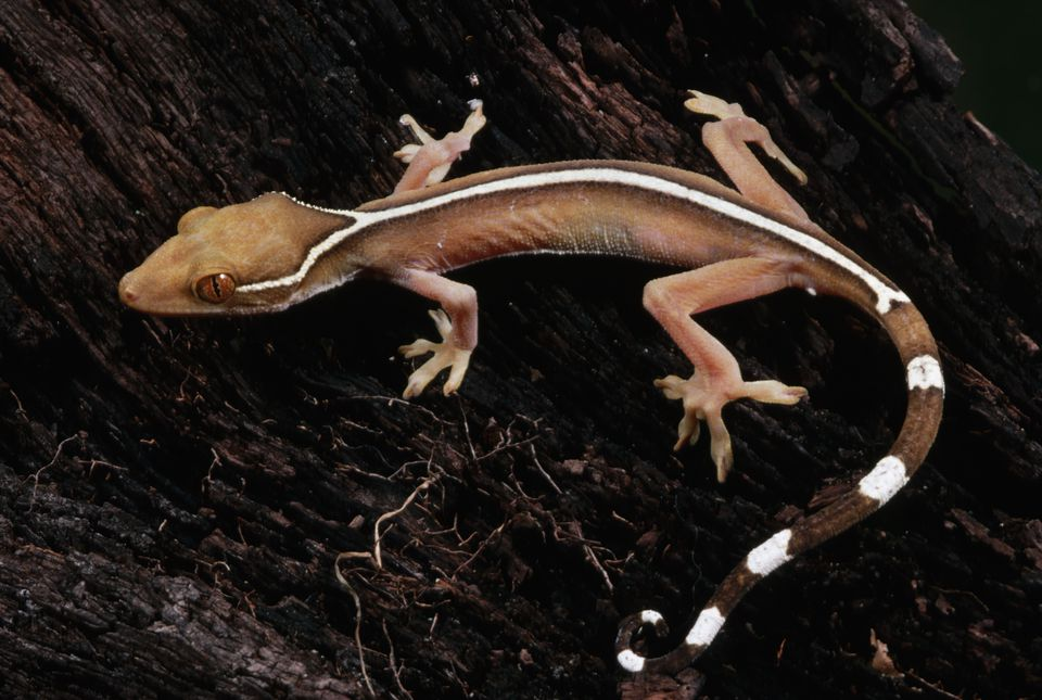 White-Lined Gecko