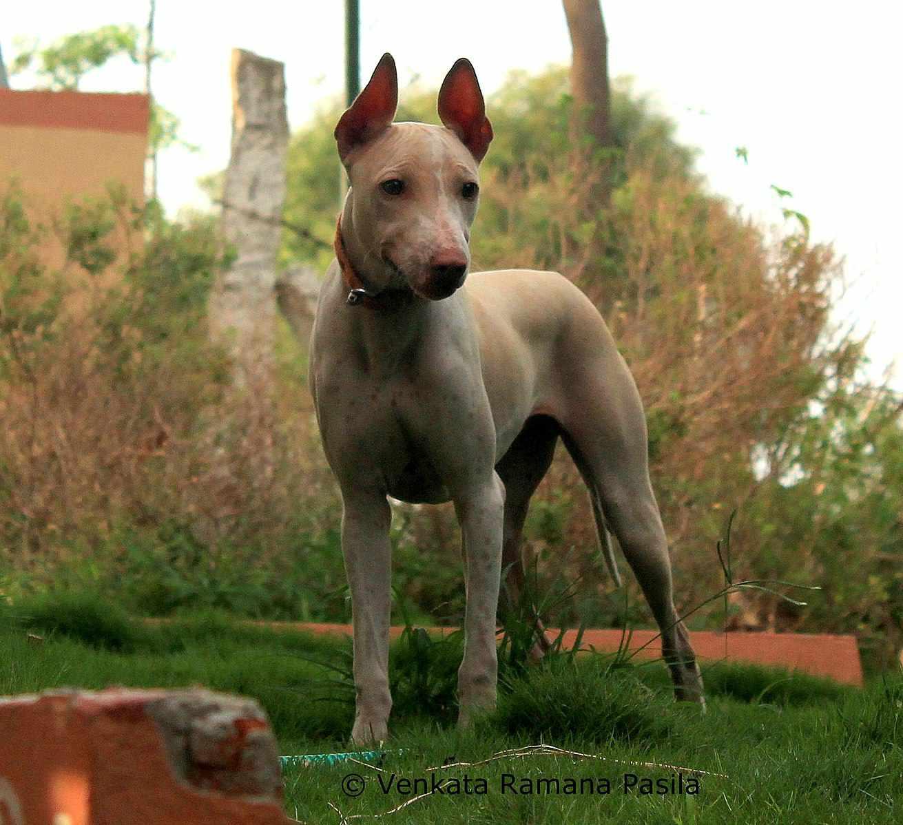 Jonangi dog standing on grass