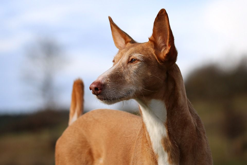 An Older Podenco