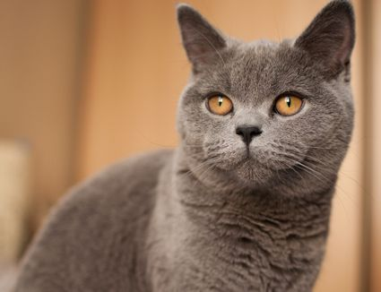 Grey cat with gold eyes looks at camera; British shorthair
