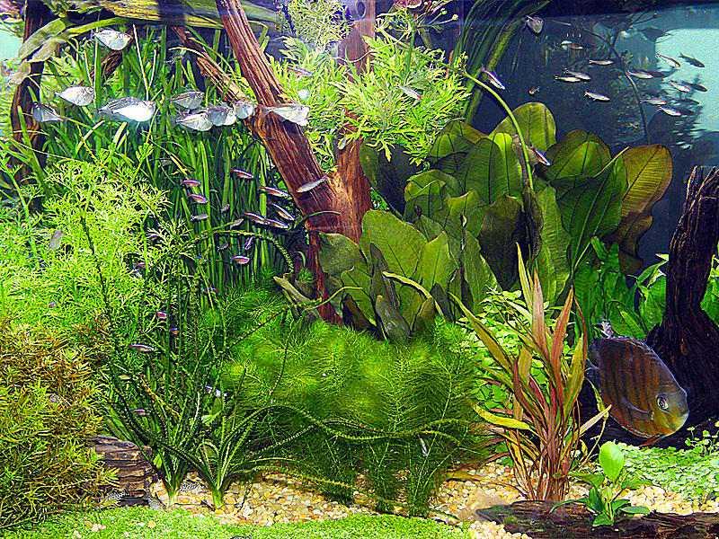 Los acuarios de plantas vivas de la comunidad son los mejores con bancos de peces en edad escolar