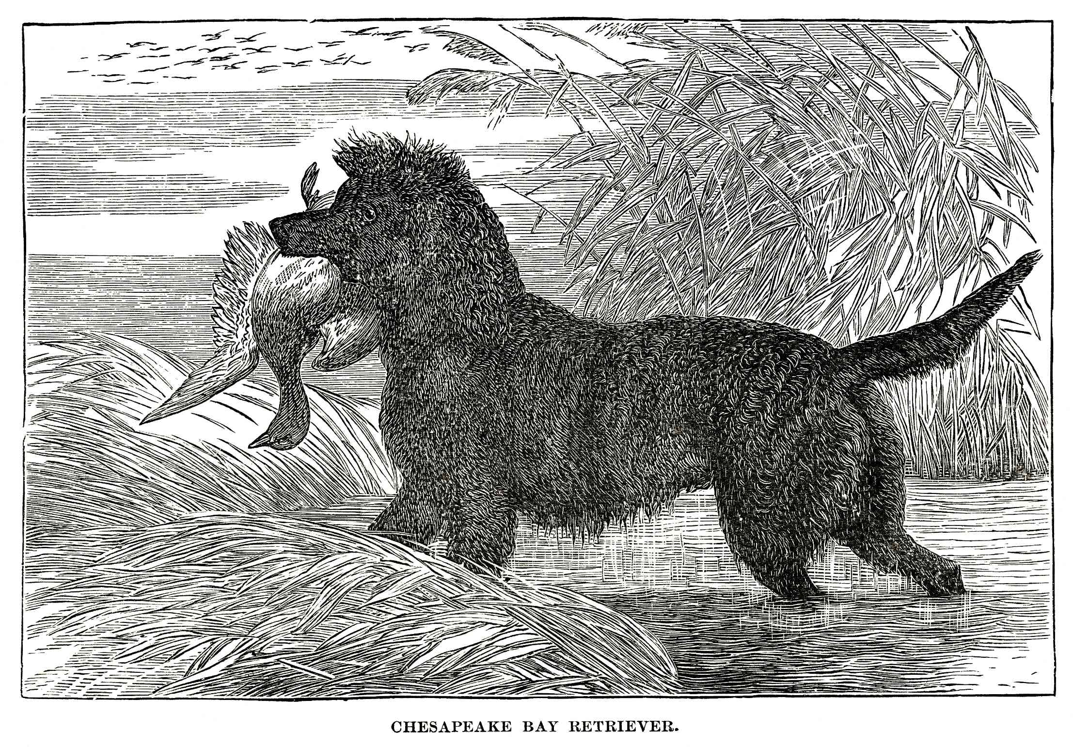 An early illustration of a Chesapeake Bay Retriever