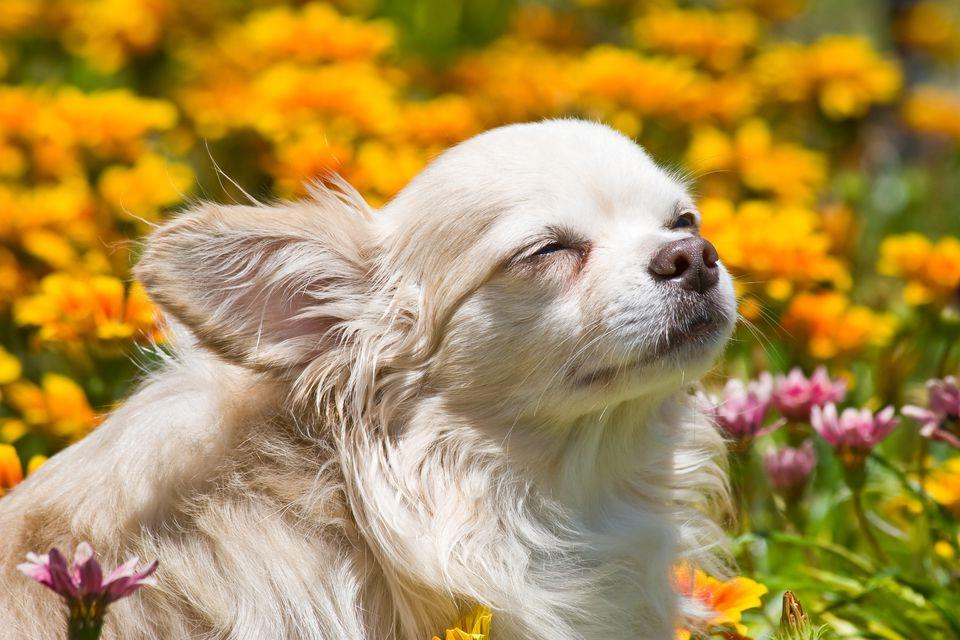 Chihuahua con los ojos cerrados en el campo de flores