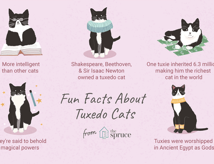 fun facts about tuxedo cats