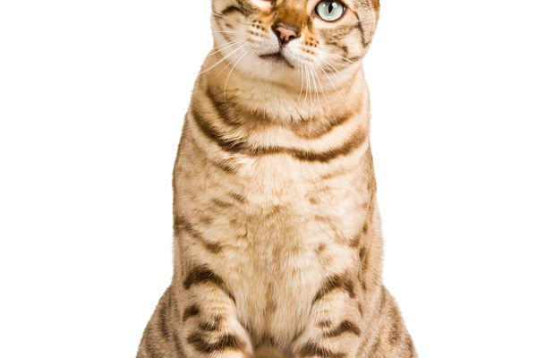 Cat sitting looking at camera on a white background