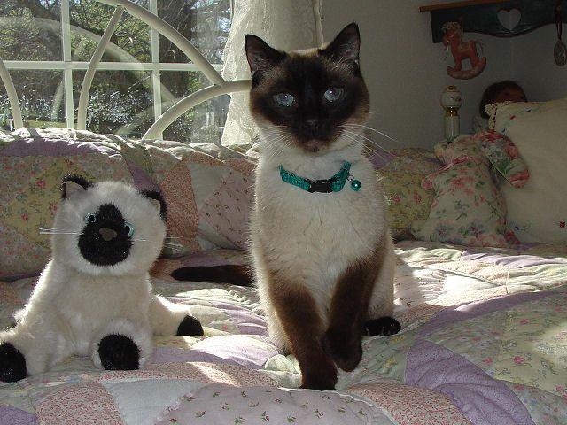 Picture of Siamese Cat Jada