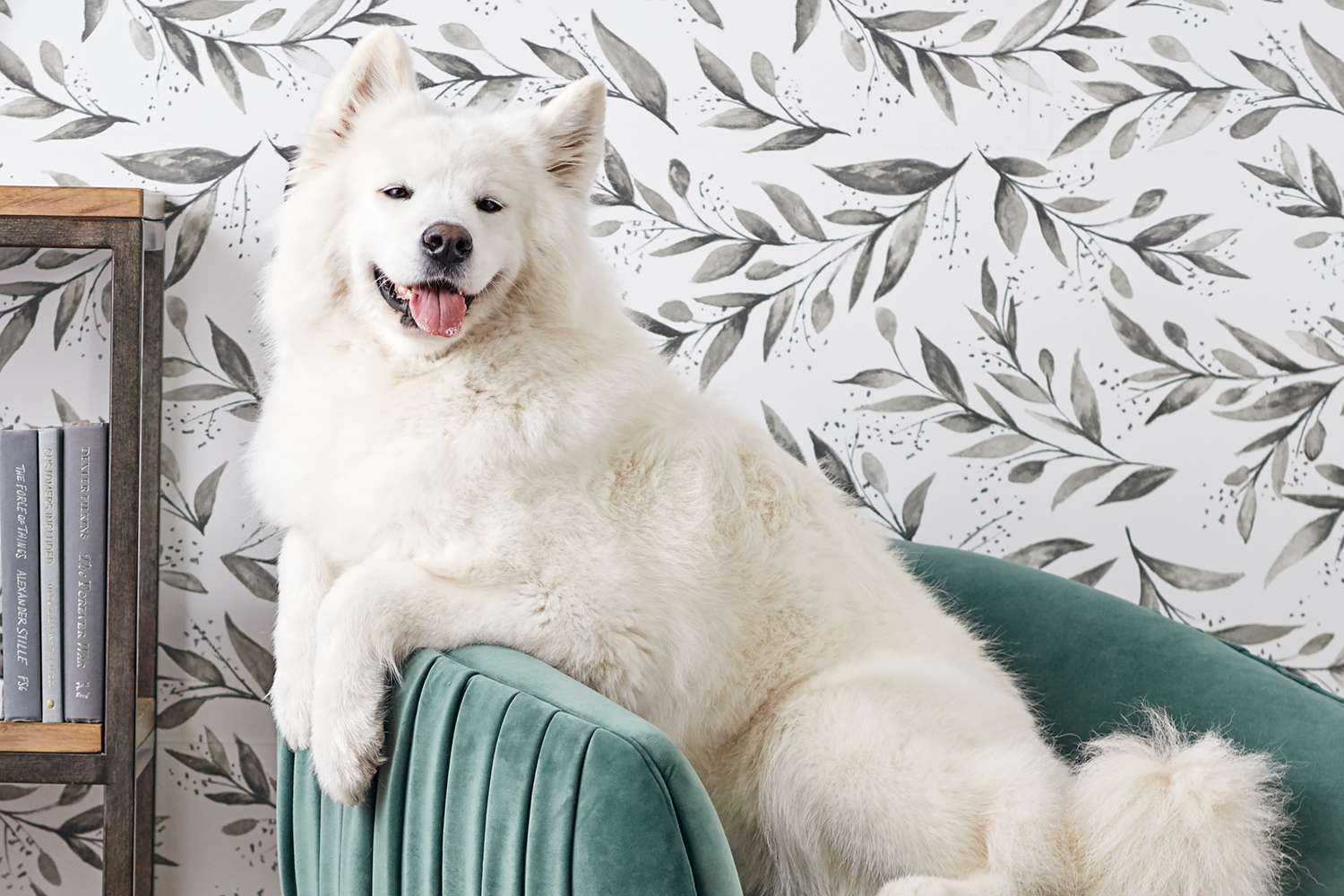 A samoyed on a chair