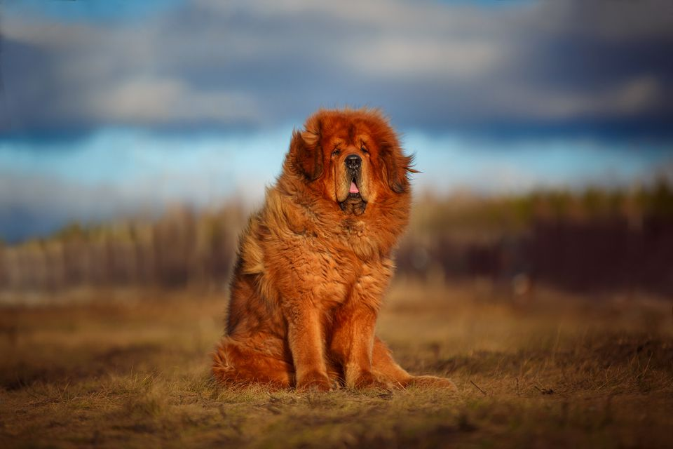 Red gold Tibetan Mastiff