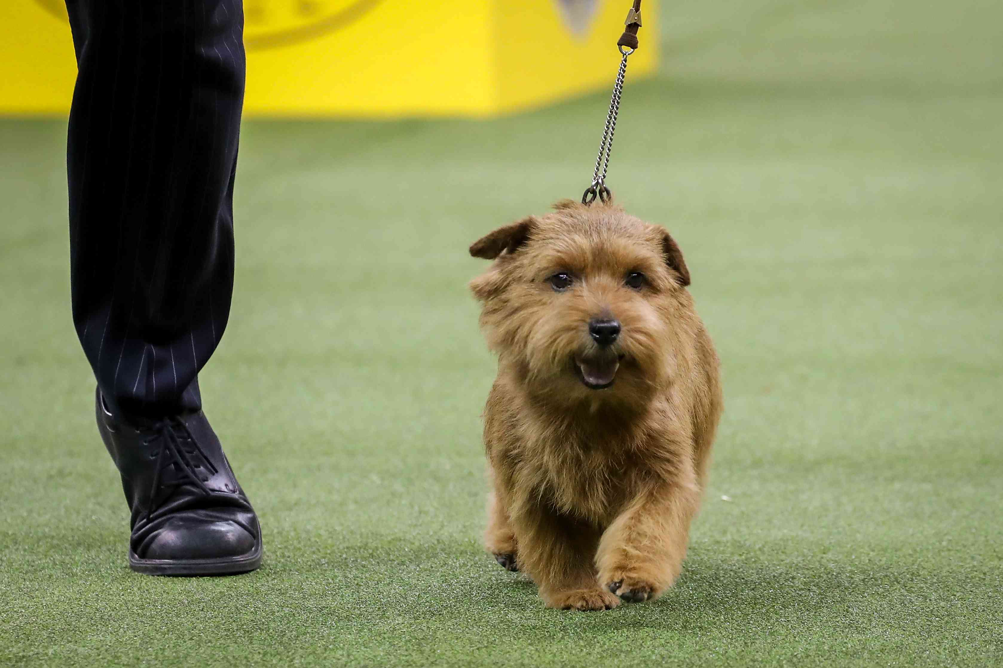 Winston the Norfolk Terrier winning the Terrier Group at Westminster