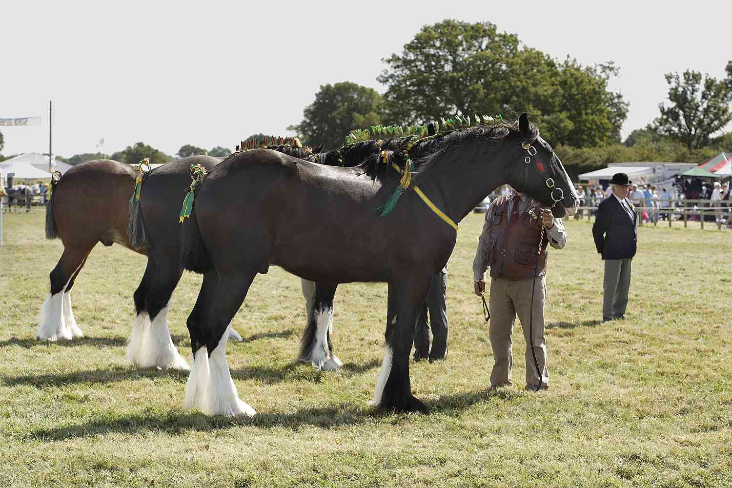 Shire horses outside with handlers