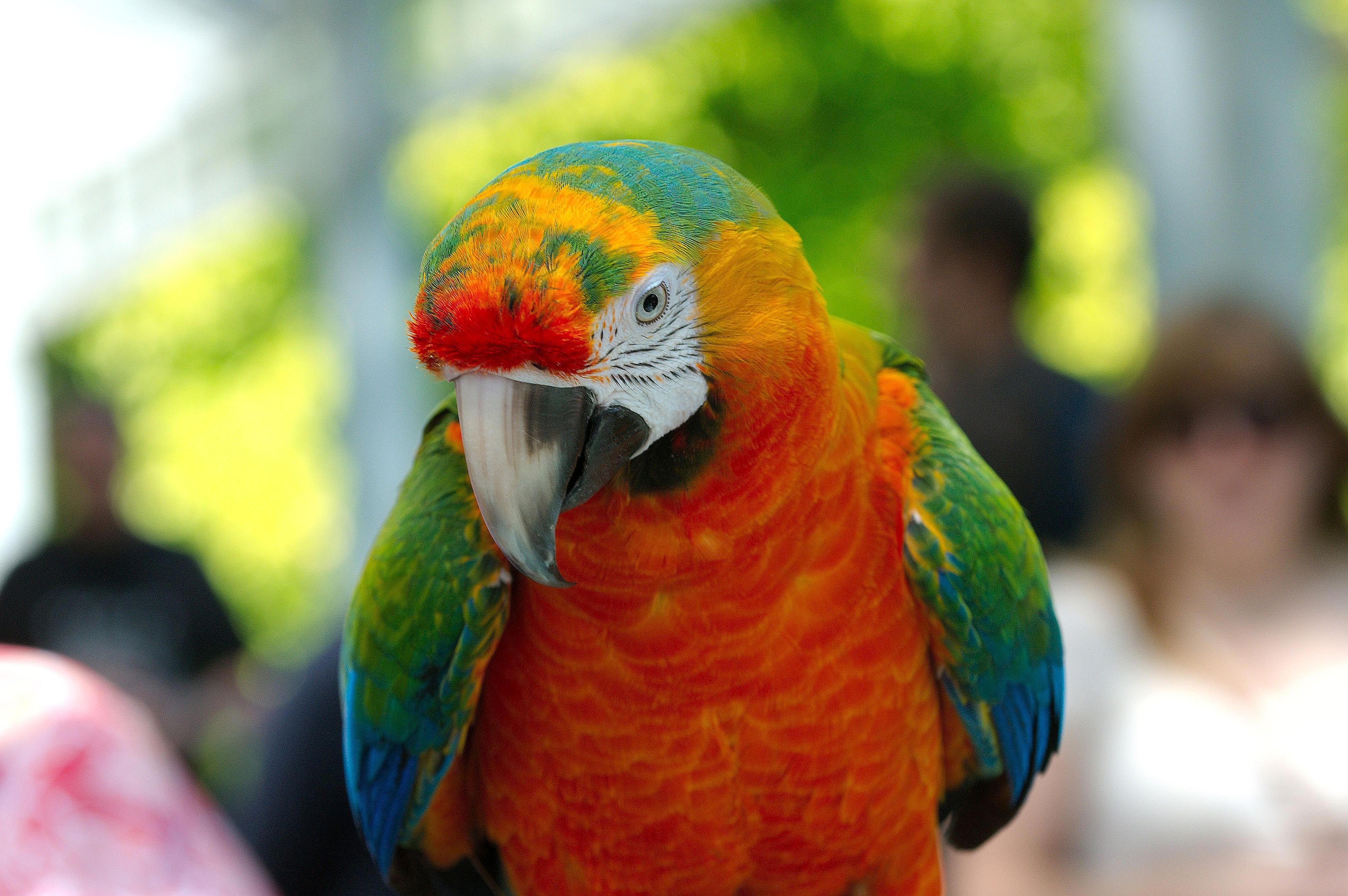 Ana hybrid macaw