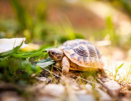 Animal - tortue d'Hermann