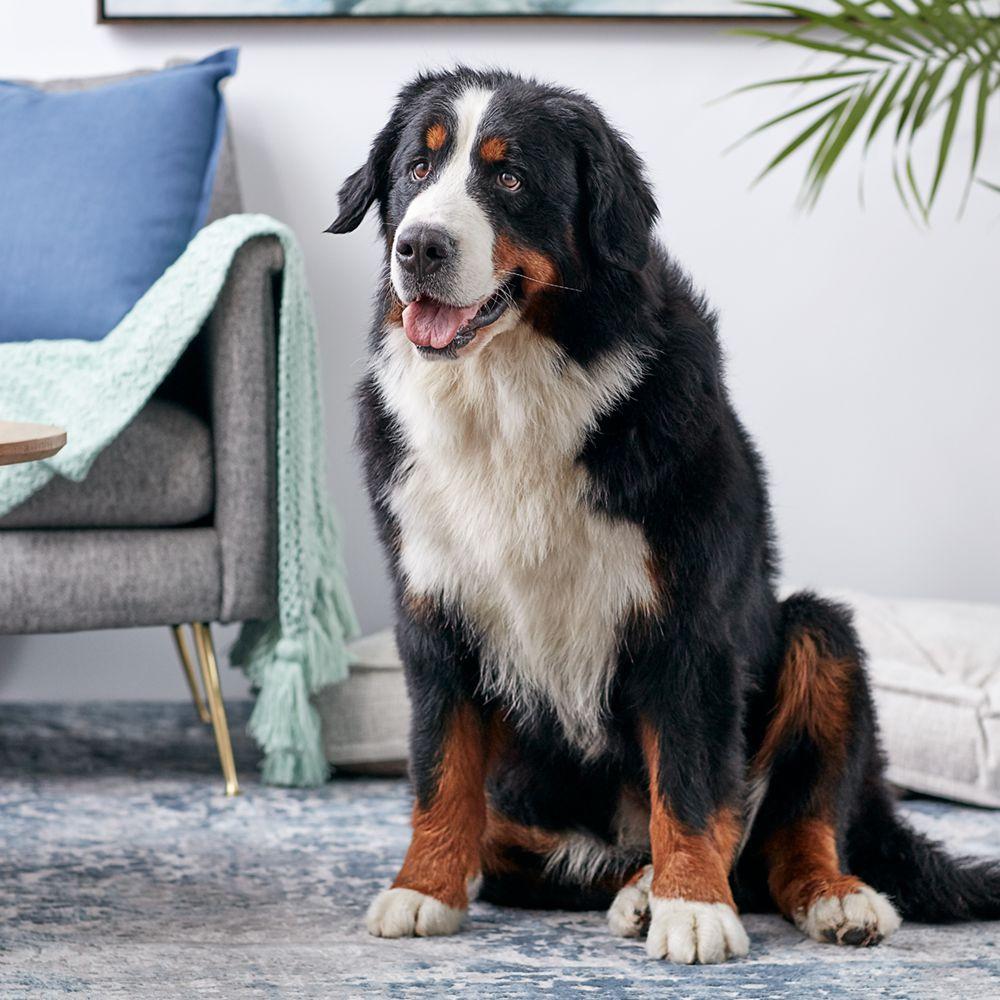 Bernese Mountain Dog Full Profile