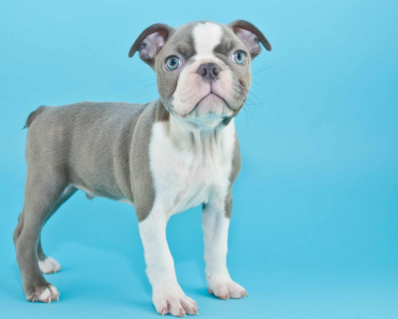 Blue Boston terrier puppy