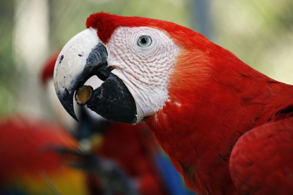 Red macaw eating a seed.