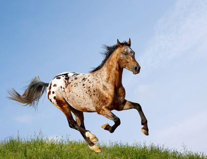 Appaloosa stallion running through the pasture