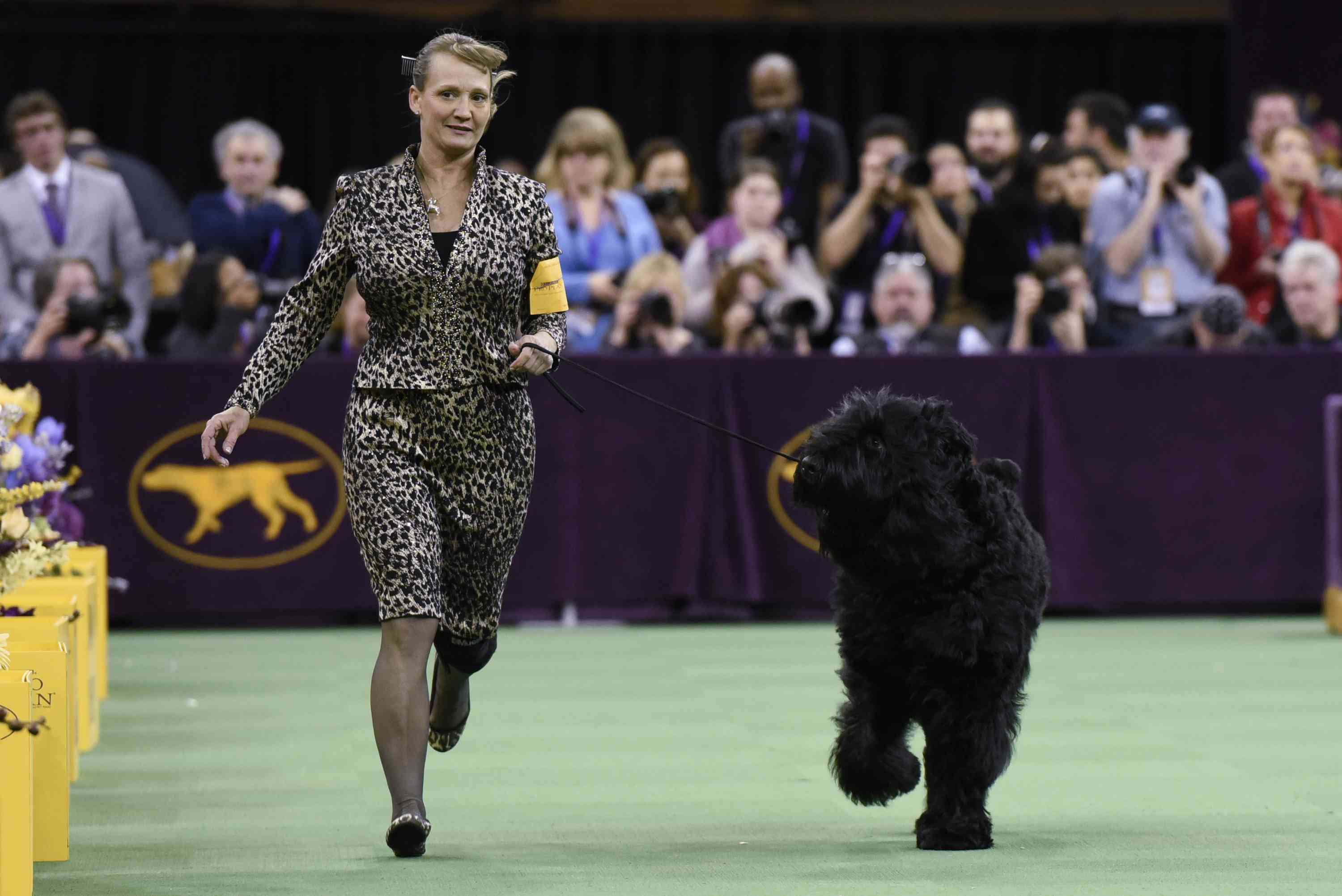 A Black Russian Terrier competes in the Working Group at the 140th Annual Westminster Kennel Club Dog Show at Madison Square Garden on February 16, 2016 in New York City