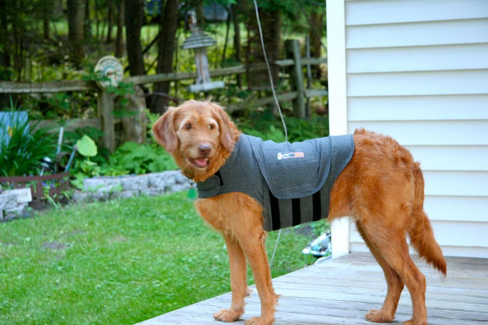 A dog models the Thundershirt