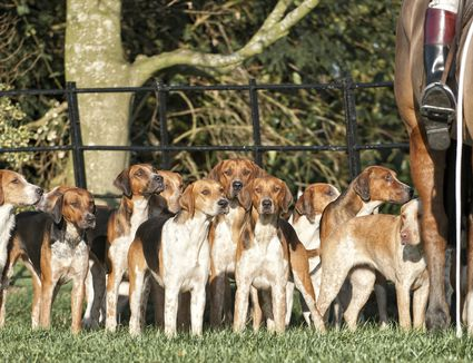 Pack of American Foxhounds with horse in field