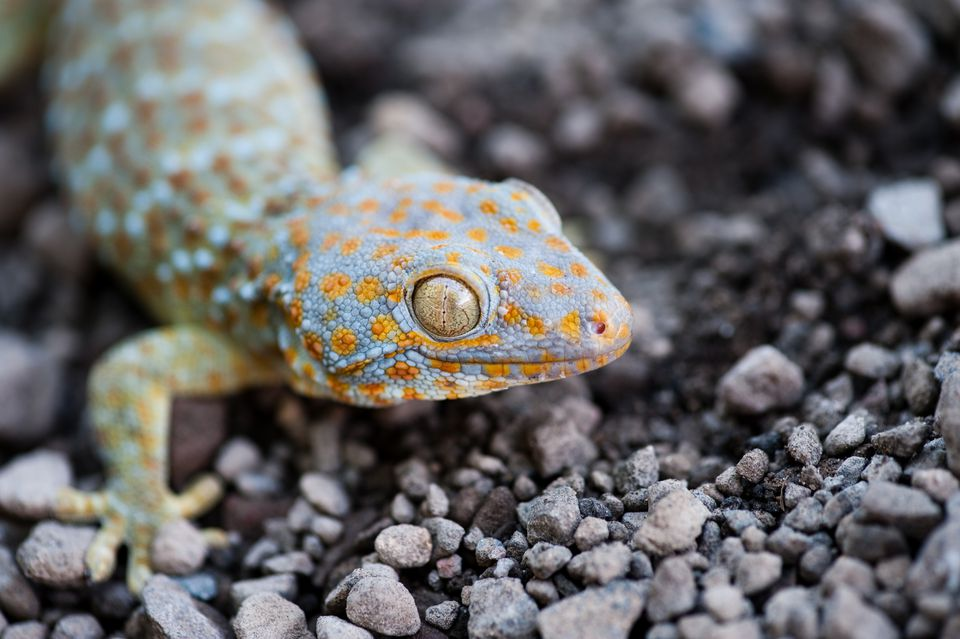 a closeup of the face of a tokay gecko