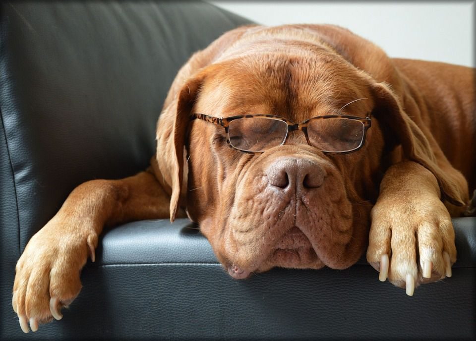 Sleeping dog with glasses on