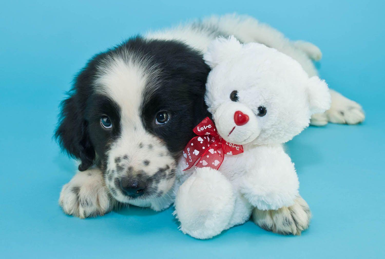 Newfoundland puppy with toy