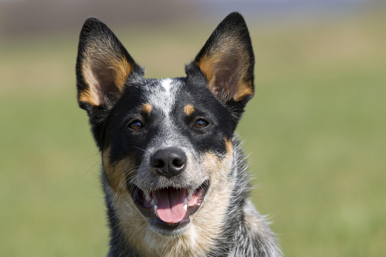 Australian cattle dog smiling