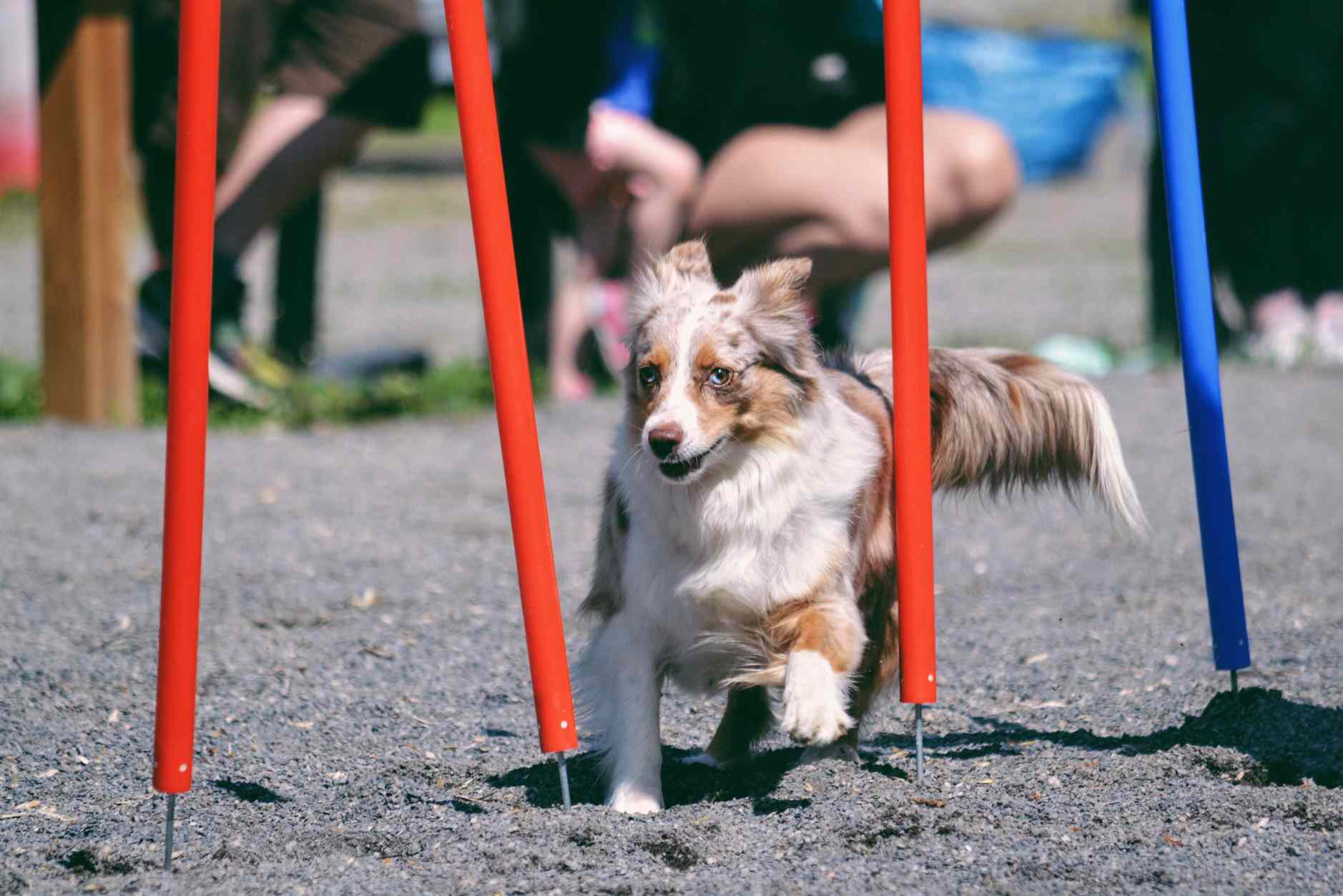 Australian Shephard on agility course